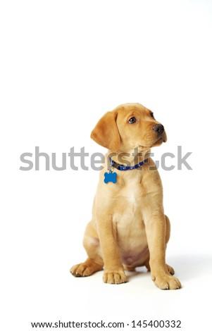Labrador Puppy Sitting on White Background - stock photo