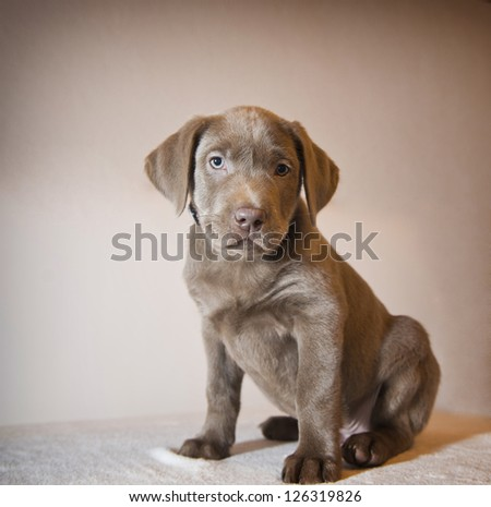 Labrador puppy sitting, playing - stock photo