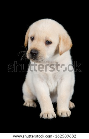 Labrador puppy standing and look sad in studio on black background - stock photo