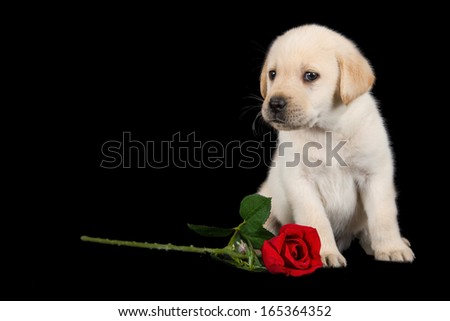 Labrador puppy standing on black with red rose studio shot - stock photo