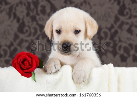 Labrador puppy with red rose in blanket on black background studio - stock photo