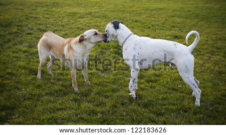 Labrador Retriever  and dalmatian bonding - stock photo
