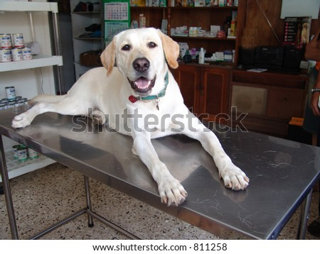 Labrador retriever at the vet - stock photo