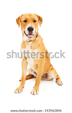Labrador Retriever dog against a white backdrop