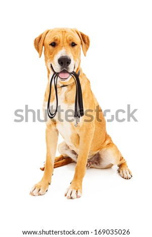 Labrador Retriever dog against a white backdrop holding a black leash in his mouth as he is waiting to go on a walk.  - stock photo