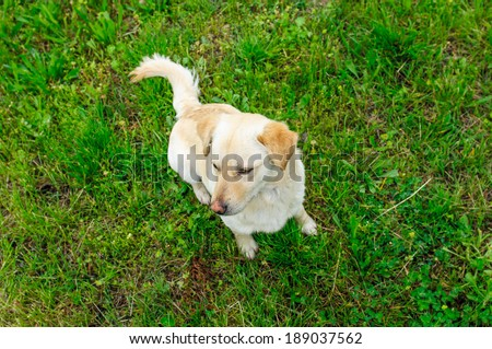 Labrador retriever dog in nature during spring time