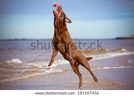 labrador retriever dog jumping up - stock photo