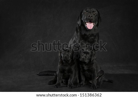 labrador retriever  dog looking away from the camera on white background - stock photo