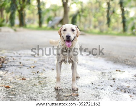 Labrador Retriever dog  playing the water