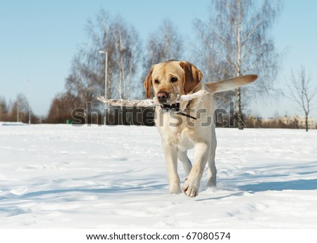 labrador retriever dog playing with stick at snowy winter - stock photo