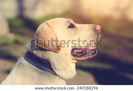 Labrador Retriever dog portrait in outdoor - stock photo
