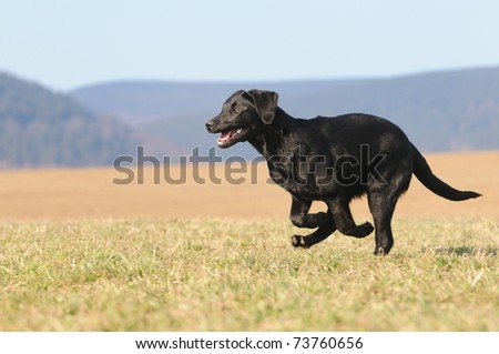 Labrador Retriever Dog puppy 4 months running