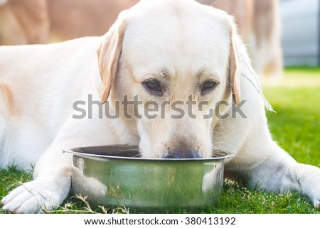 Labrador retriever drinking water on the grass