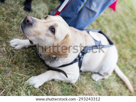 Labrador retriever guide dog before the last training for the animal. The dogs are undergoing various trainings before finally given to the physically disabled people.  - stock photo