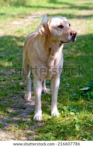 labrador retriever in a grass