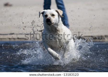 Labrador retriever in action - stock photo