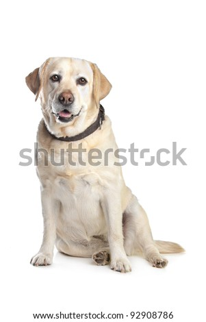 Labrador Retriever in front of a white background - stock photo