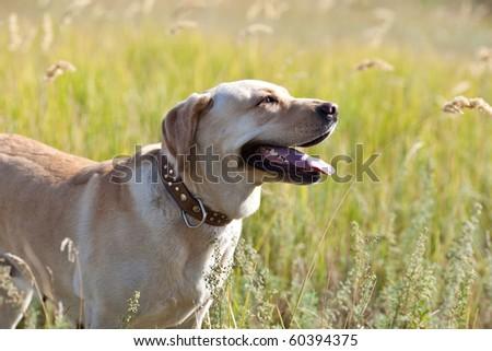 Labrador retriever in grass - stock photo