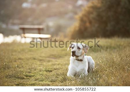 Labrador retriever in park at the sunrise - back lit - stock photo