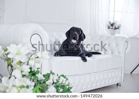 Labrador Retriever in the interior - stock photo