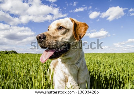 Labrador retriever in wheat field, and summer freedom - stock photo