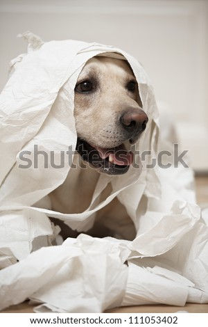 Labrador retriever is playing with toilet paper - selective focus - stock photo