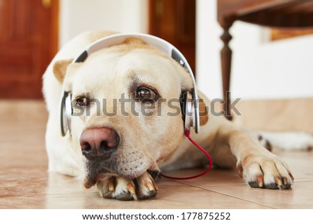 Labrador retriever is resting and listening music. - stock photo