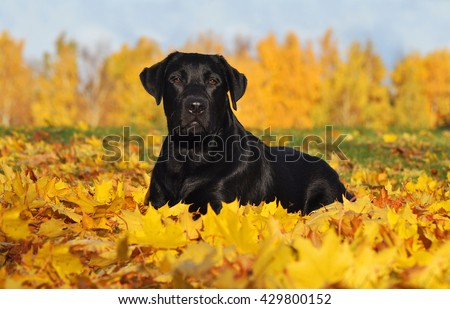 Labrador Retriever lying down in the beautiful Autumn leaves - stock photo