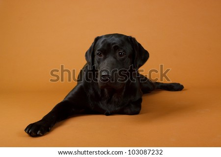 Labrador retriever, 12 months old, lying in front of brown background - stock photo