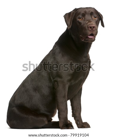 Labrador Retriever, 9 months old, sitting in front of white background - stock photo