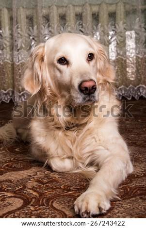 Labrador Retriever nice room. The owner, confidence, reliability - stock photo
