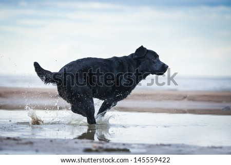 Labrador retriever on the beach