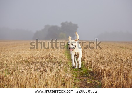 Labrador retriever on the field in autumn. - stock photo