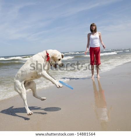 Labrador retriever playing frisbee. - stock photo