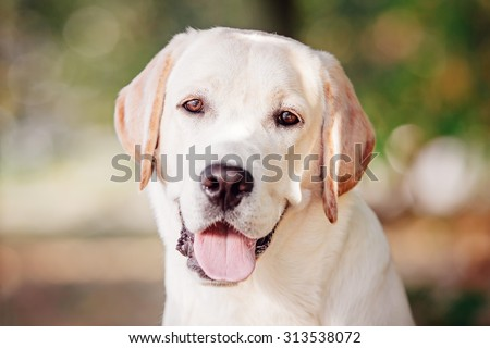 Labrador Retriever Portrait - stock photo