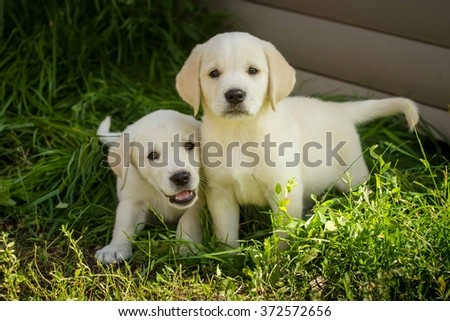 labrador retriever puppies on the lawn - stock photo