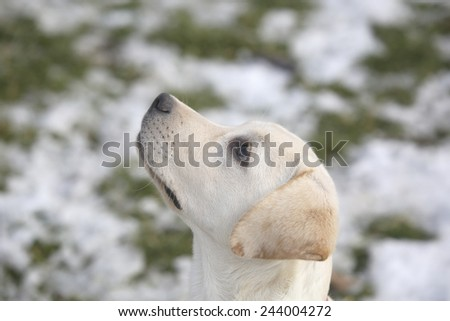 Labrador retriever puppy happy in the yard - stock photo