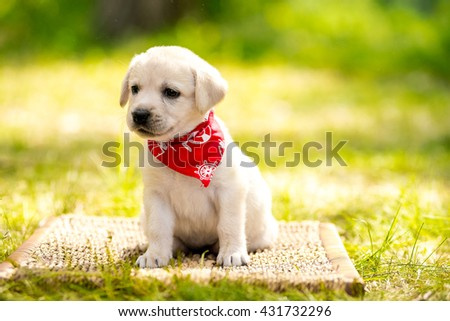 Labrador retriever puppy in the park on the nature. Labrador retriever puppy in the yard - stock photo