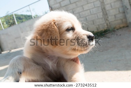 Labrador retriever puppy in the yard - stock photo