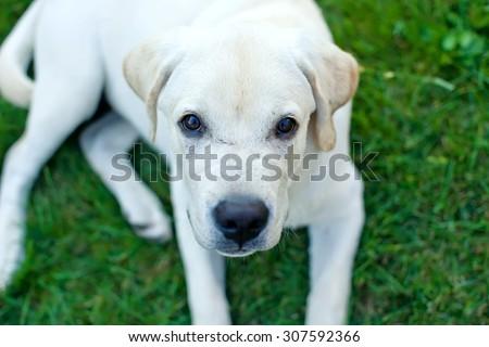 Labrador retriever puppy in the yard  - stock photo