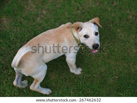 Labrador retriever puppy in the yard looking at camera - stock photo