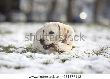 Labrador Retriever Puppy In Yard - stock photo