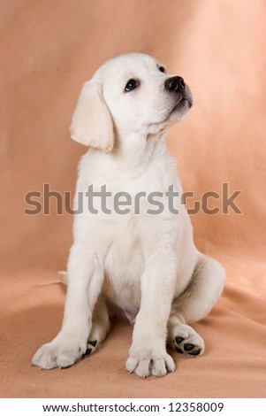 Labrador Retriever puppy on background - stock photo