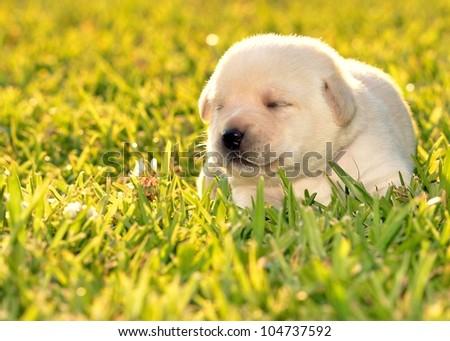 Labrador Retriever puppy outside grass brick - stock photo
