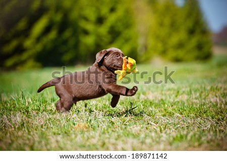 labrador retriever puppy playing outside - stock photo