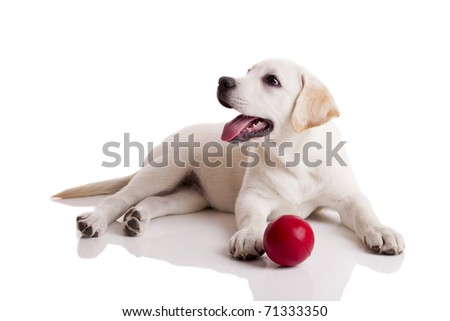 Labrador retriever puppy playing with a red ball, isolated on white - stock photo