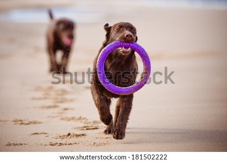 labrador retriever puppy running with a toy - stock photo