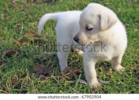 Labrador retriever puppy sitting among flowers in green field - stock photo