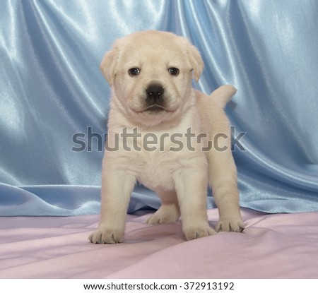 Labrador retriever puppy. Sitting, front view, Rose Quartz and Serenity background - stock photo