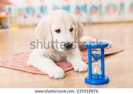 labrador retriever puppy watching the hourglass - stock photo